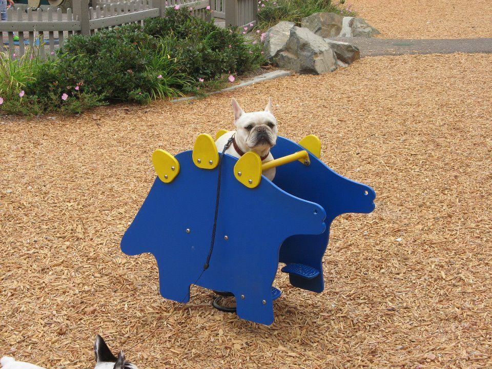Benny The French Bulldog Frenchies French Bulldog