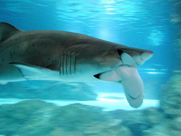 A 3 Meter Long Sand Tiger Shark Eats Black Tip At The Coex Aquarium In Seoul Officials Said Imported From South Africa