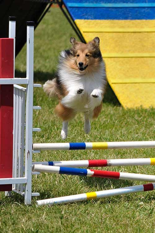 All About Fun Shetland Sheepdogs And Kids