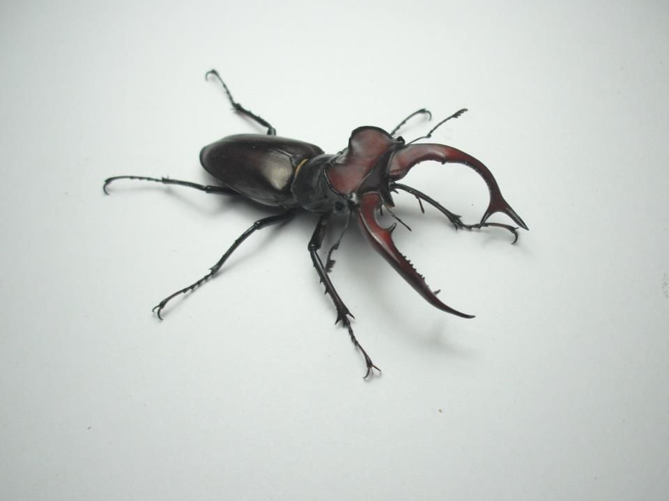Lucanus elaphus  From Coleoptera https://www.facebook.com/pages/Coleoptera/130959736976072