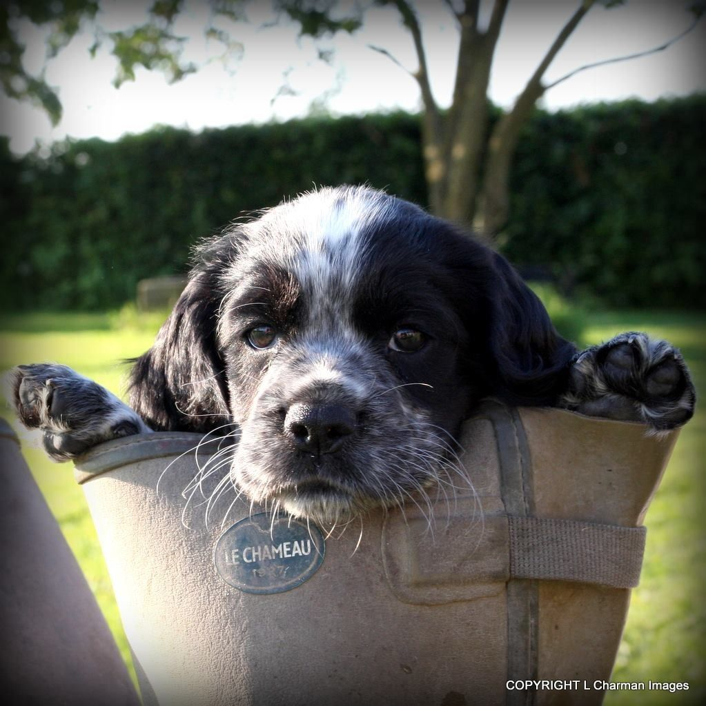 Cute spaniel gundog photography, one of my favs!