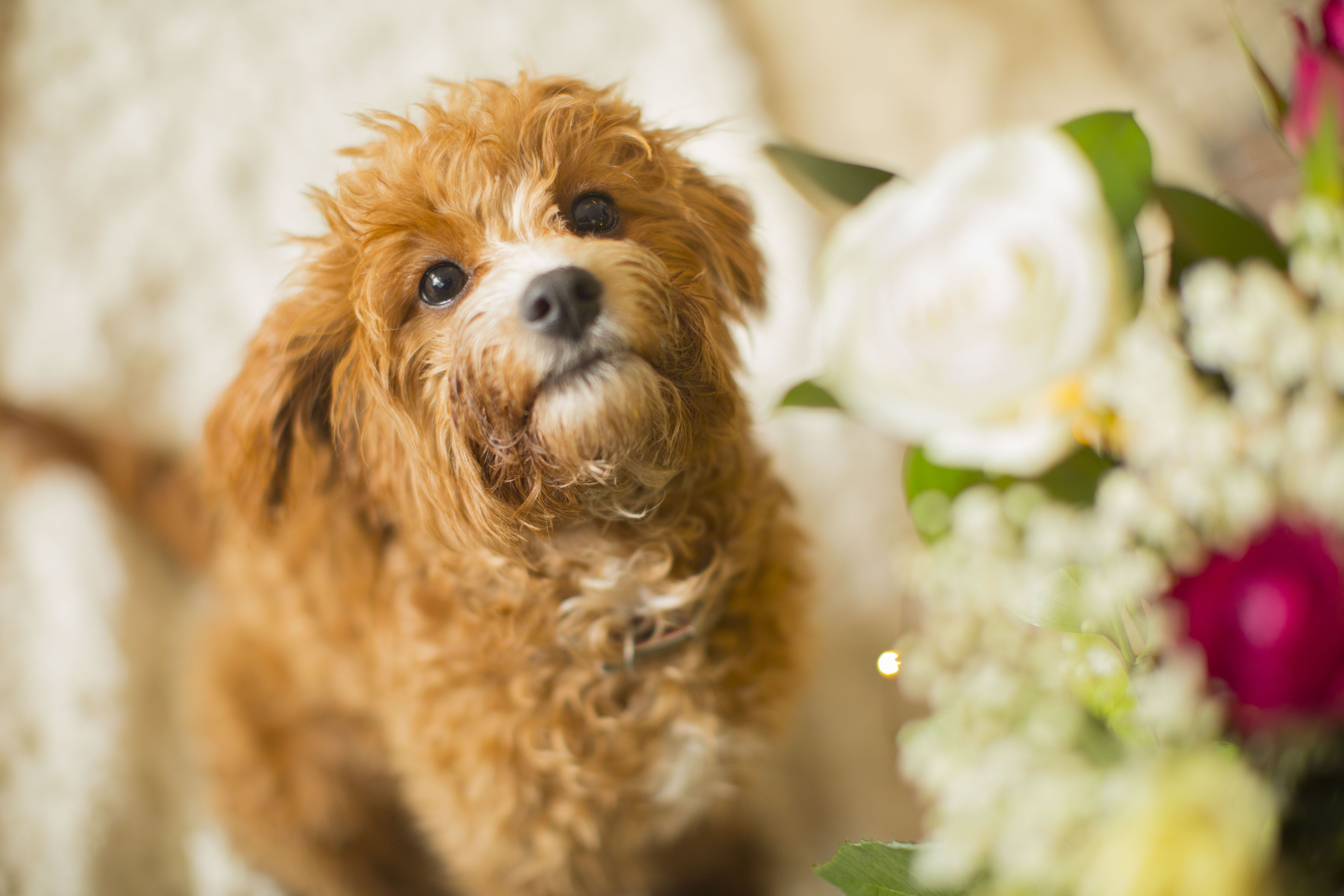 Raggy Dogs Specialises In Breeding Rearing And Training Exquisite Red Toy Cavoodle Puppies In Sydney Australia Eac Therapy Dogs Sporting Dogs Skill Training