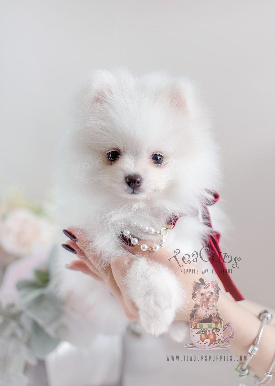 Pomeranian For Sale Florida : pomeranian, florida, Pomeranian, Puppy, Puppy,, Sale,, Puppies