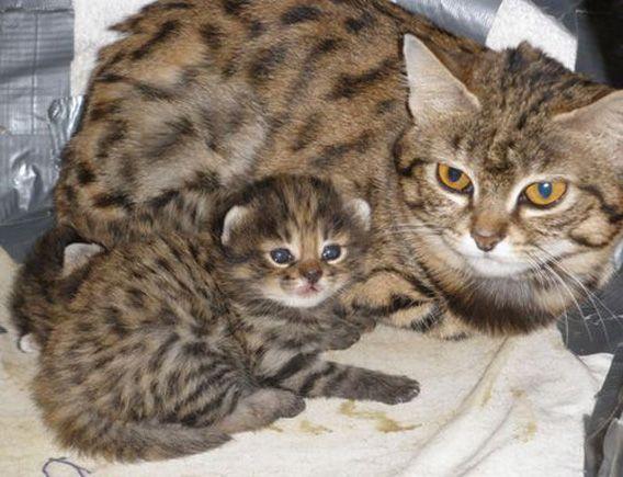 世界最小種の猫 くにゅんとかわいい クロアシネコ の赤ちゃん カラパイア 子猫 猫 ネコ