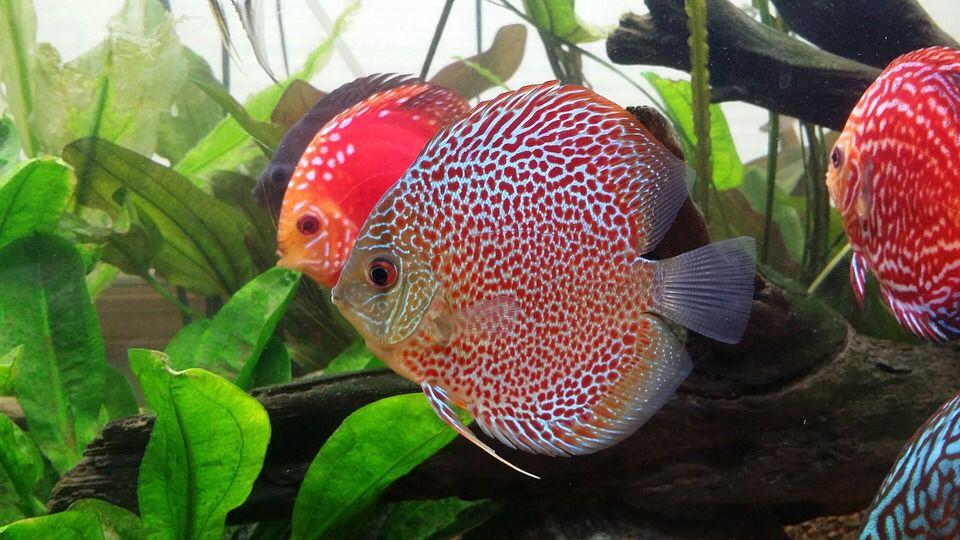 Discus Fish Tank Mates Aqualion Discus Fish Fish Tank Discus Aquarium