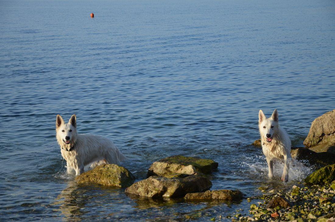 White Swiss Shepherds in the sea