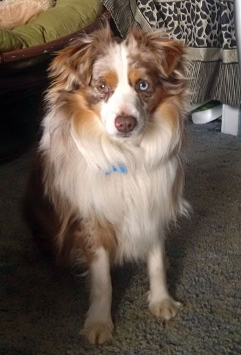 Pin By Ben Angie Knopp On Doggies Australian Shepherd American Shepherd Miniature American Shepherd