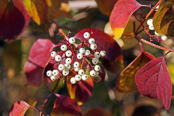 Red Twig Dogwood (Cornus sericea) Prairie Nursery Twig