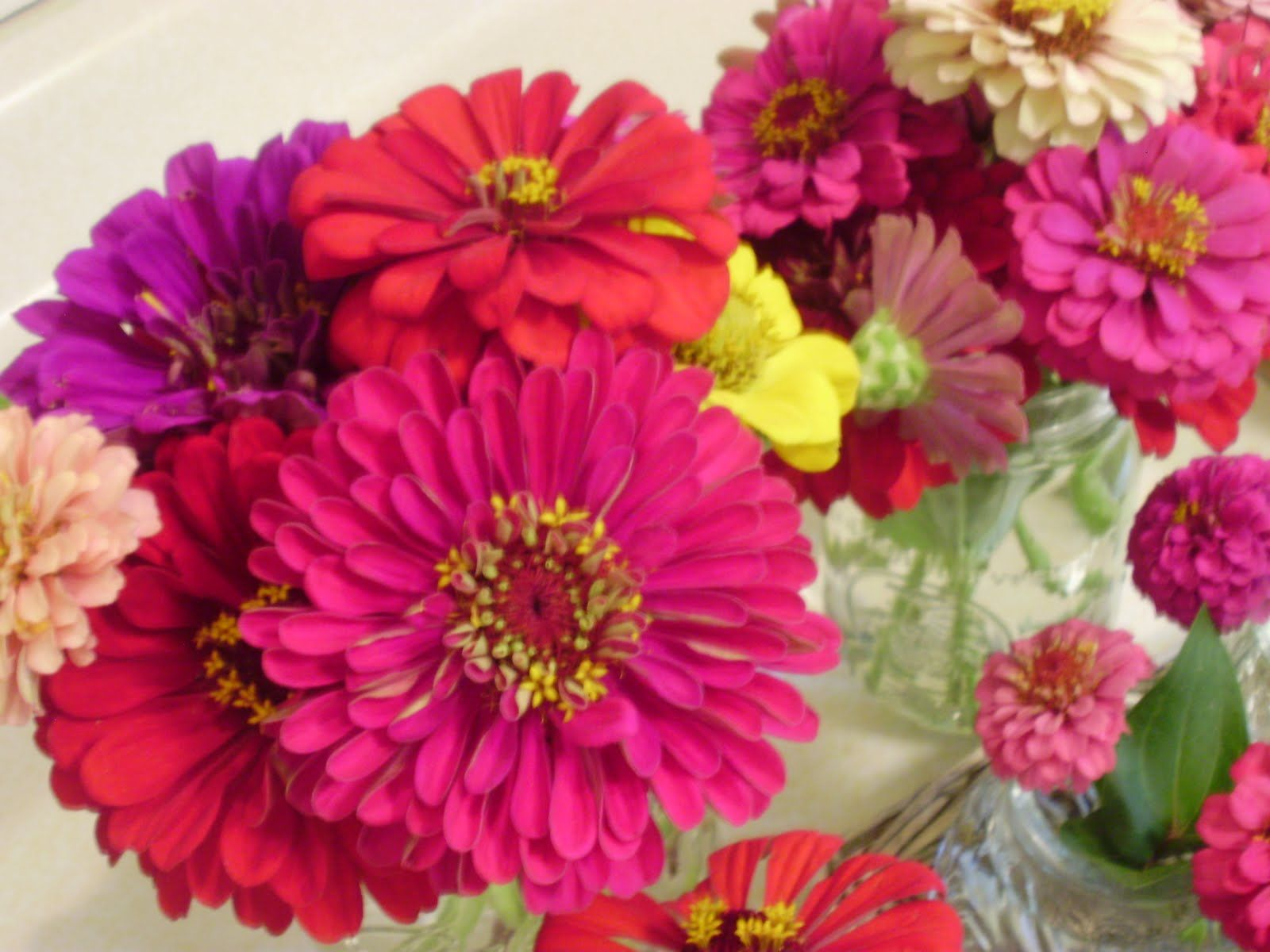 Majors flowers: growing zinnia at home from seed and caring for a plant 99
