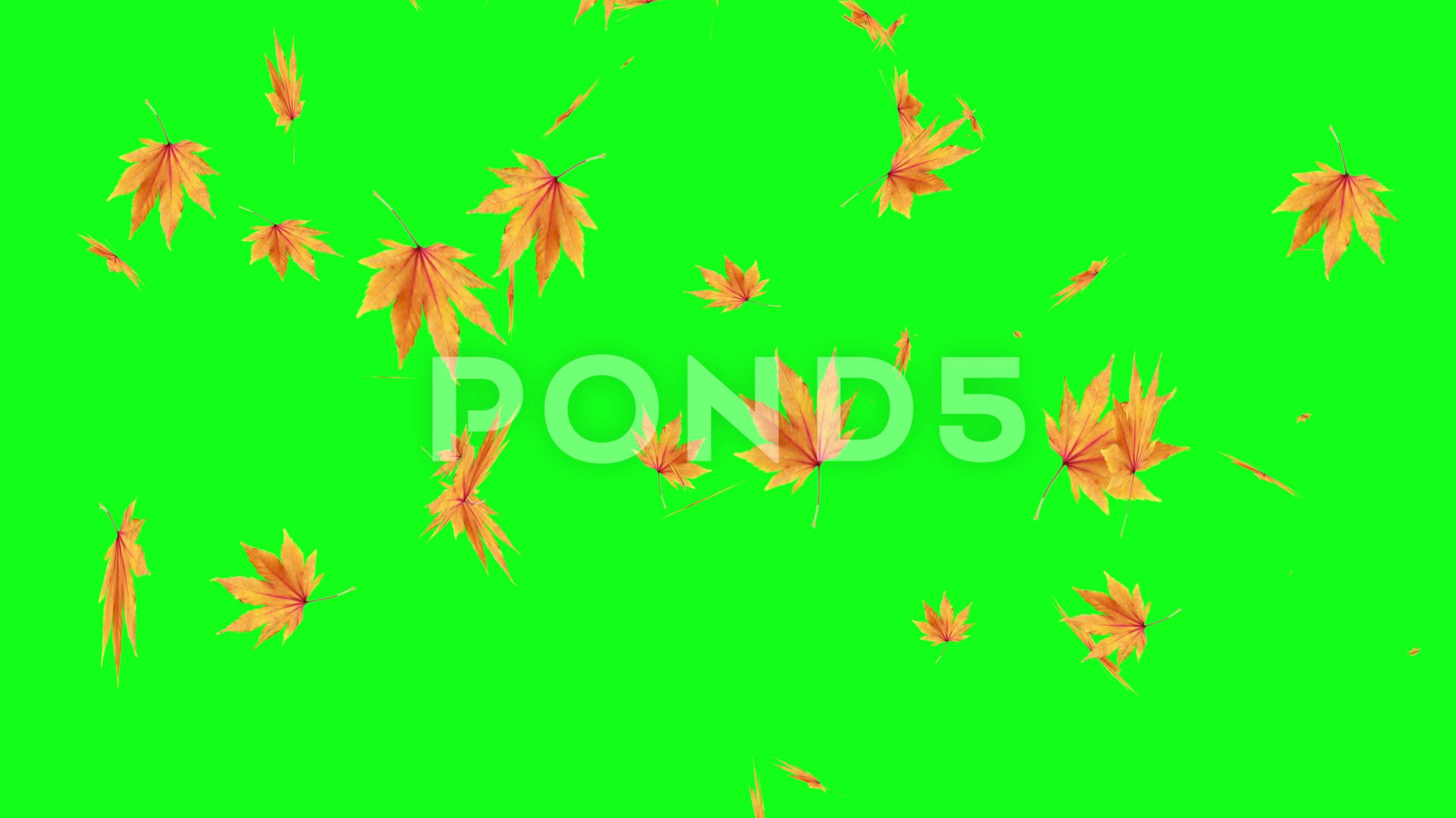Autumn Leaves Falling On Green Screen Chroma Key Editable Background Stock Footage Ad Green Screen Falling Green Background Video Greenscreen Autumn Leaves