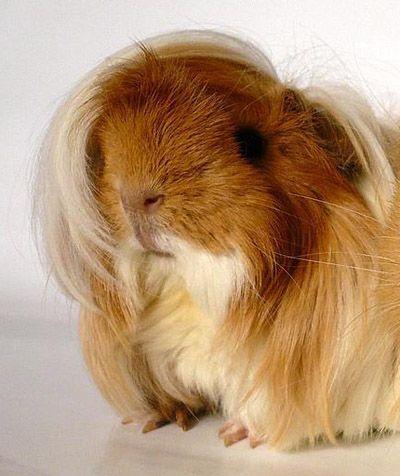 Emo hair guinea pig.  ROTFL.  G pigs always make me laugh.