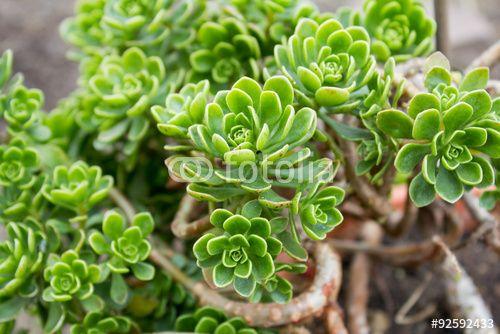 """Laden Sie das lizenzfreie Foto """"Aeonium spathulatum"""" von Nicolette Wollentin zum günstigen Preis auf Fotolia.com herunter. Stöbern Sie in unserer Bilddatenbank und finden Sie schnell das perfekte Stockfoto für Ihr Marketing-Projekt!"""