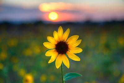 Sunflower Sunset by Peter Tellone