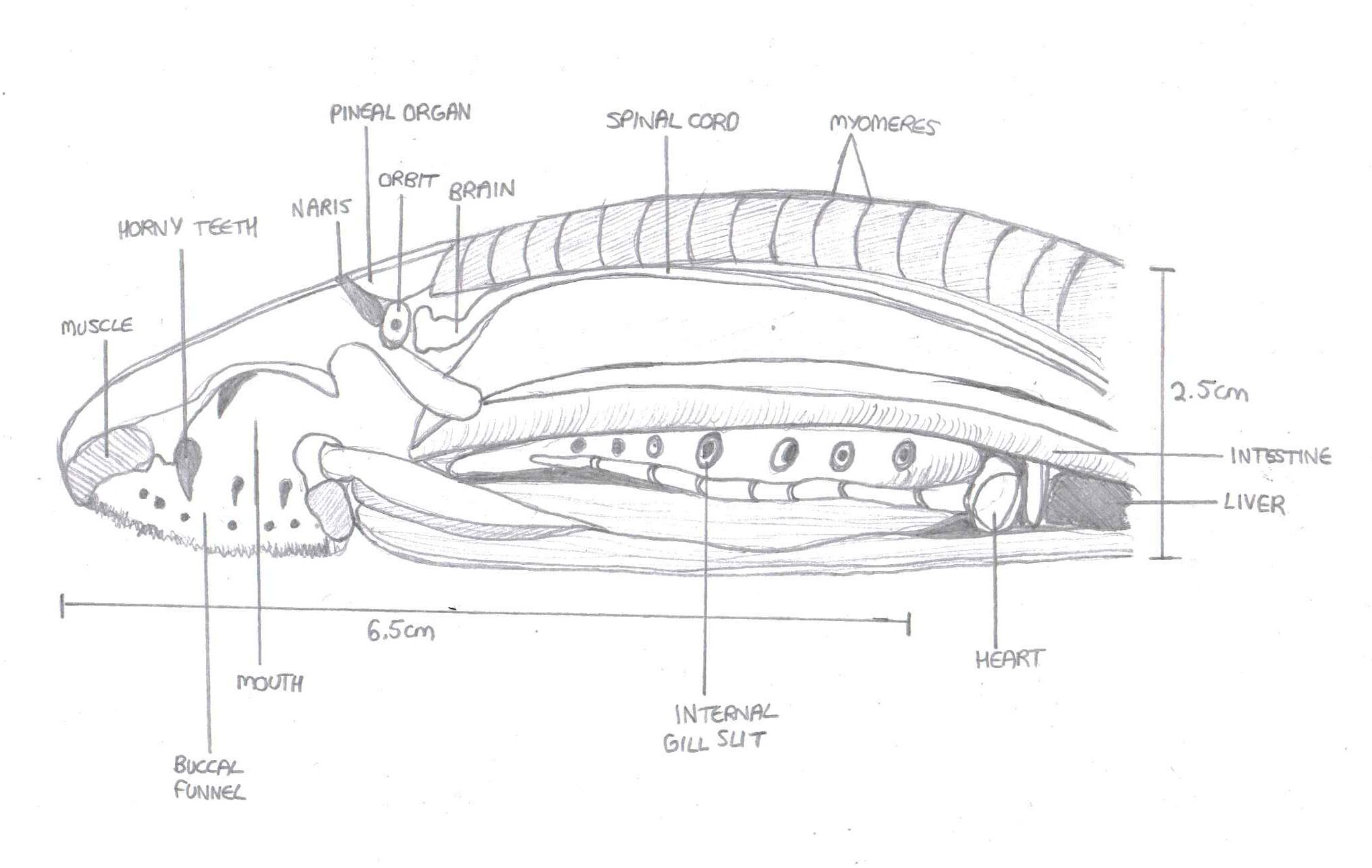 Lamprey Diagram Lamprey Anatomical Diagram Lateral View Zoology