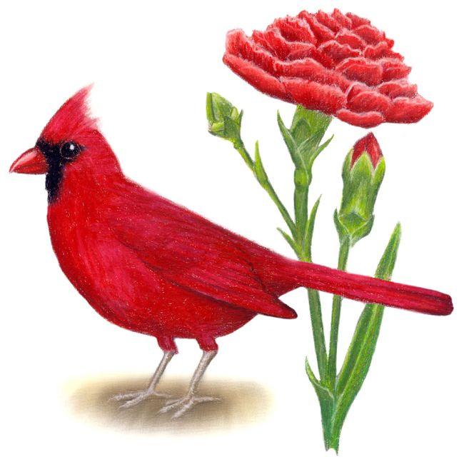 Ohio State Flower Ohio State Bird And Flower Cardinal Cardinalis Cardinalis Red Ohio State Bird State Birds Bird