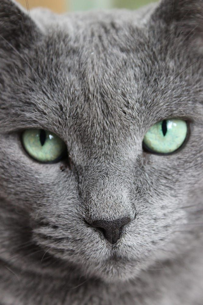 Our Russian Blue Had A Personality Those Green Eyes Going Past