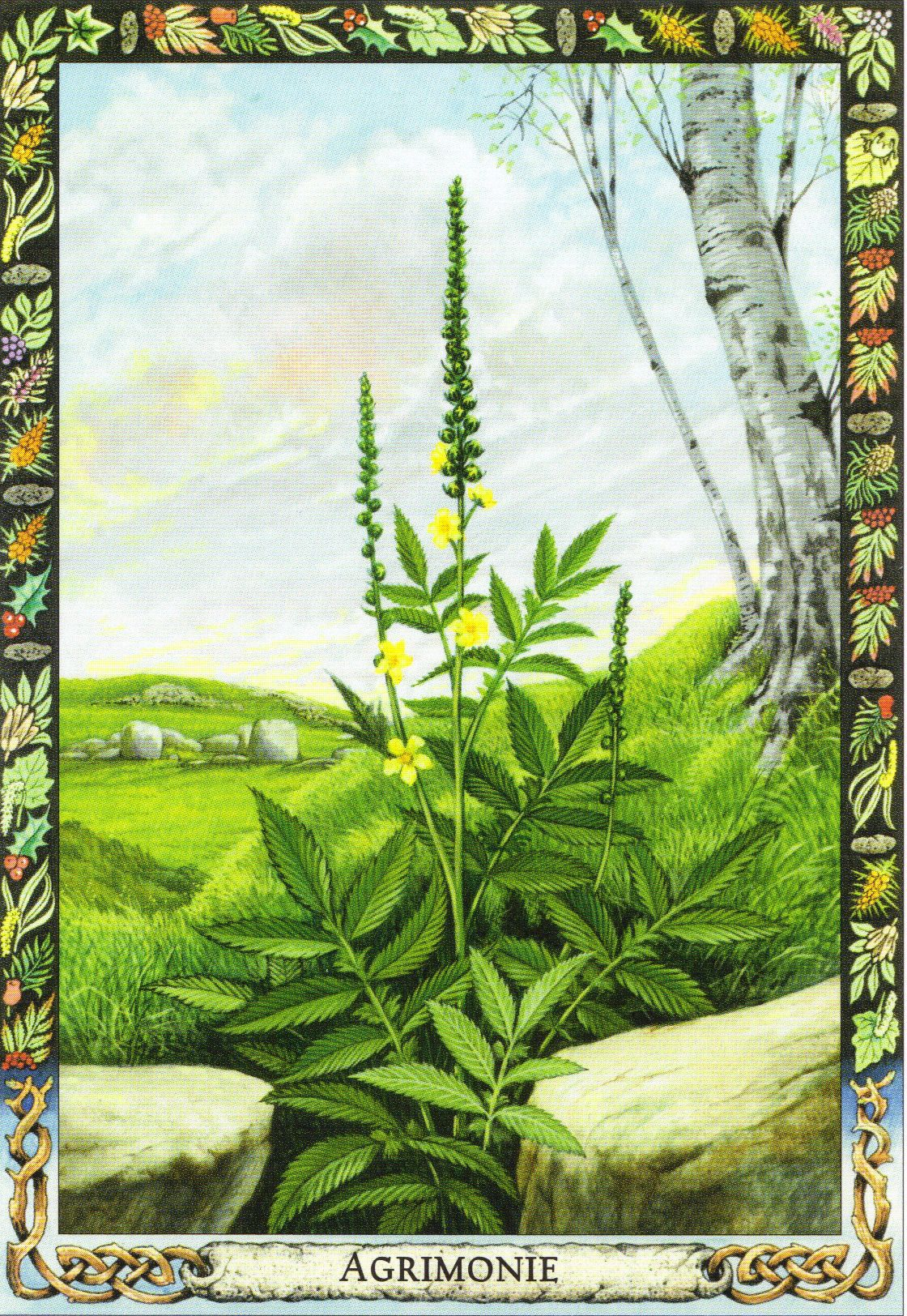 Agrimony | Druid Plant Oracle by Philip and Stephanie Carr | Illustrated by Will Worthington | Meaning: cleansing, liberation and preparation for a new beginning | Reversed: unhealthy attachment, worry and listlessness