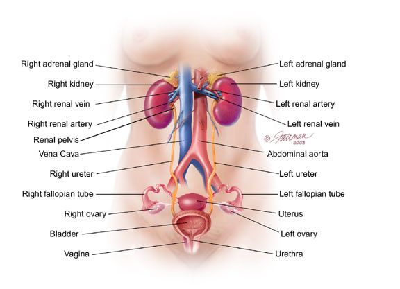 Reproductive Female Anatomy: referencing the female reproductive ...