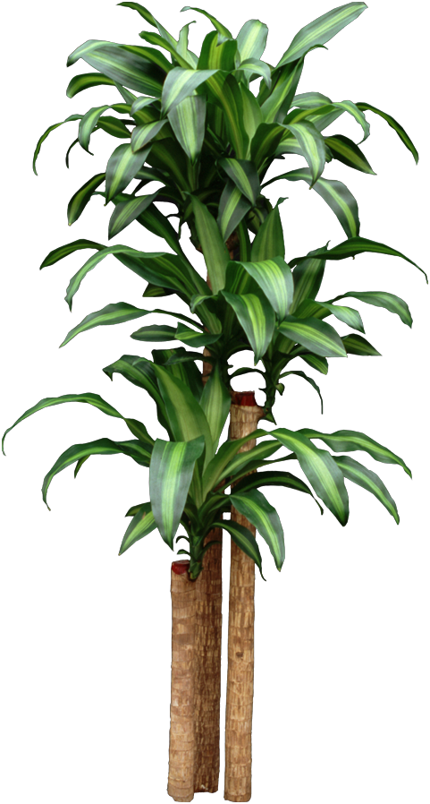 Propagate HousePlants: Corn Dracaena getting too tall ...