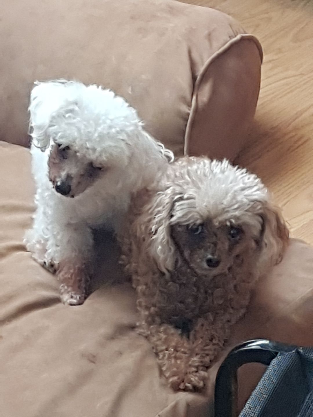 Adopt Inspector Gadget And Penny On Adoption Dogs Pet Adoption