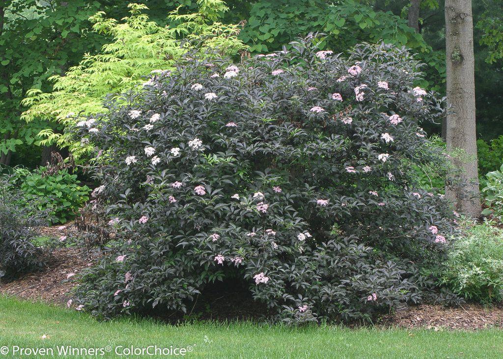 elderberry-black-beauty-tree-smallgirls-naked-photos