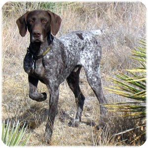 Pin By Margaret Miller On English Pointers And German Short Haired Pointers German Shorthaired Pointer Dog German Shorthaired Pointer Pointer Puppies