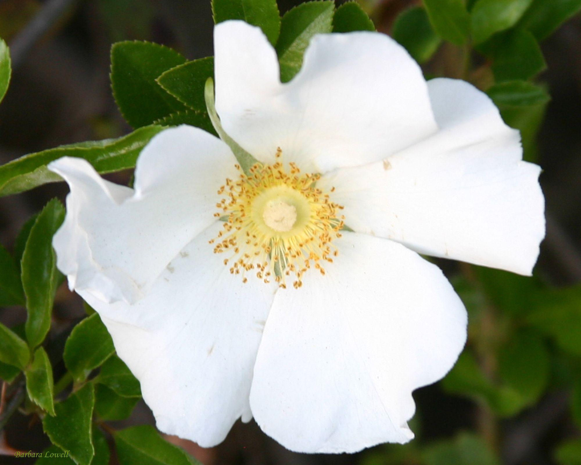 Georgia state flower gardening pinterest gardens for Cherokee rose