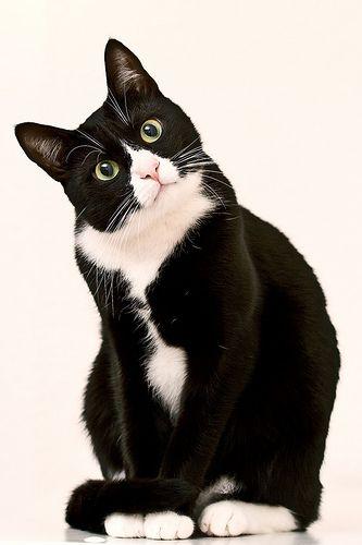 Resultado de imagen de cats tuxedo