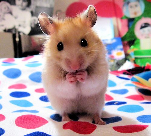 Pin By Fenn Gehring On Babies Hamster Care Pets Cute Hamsters