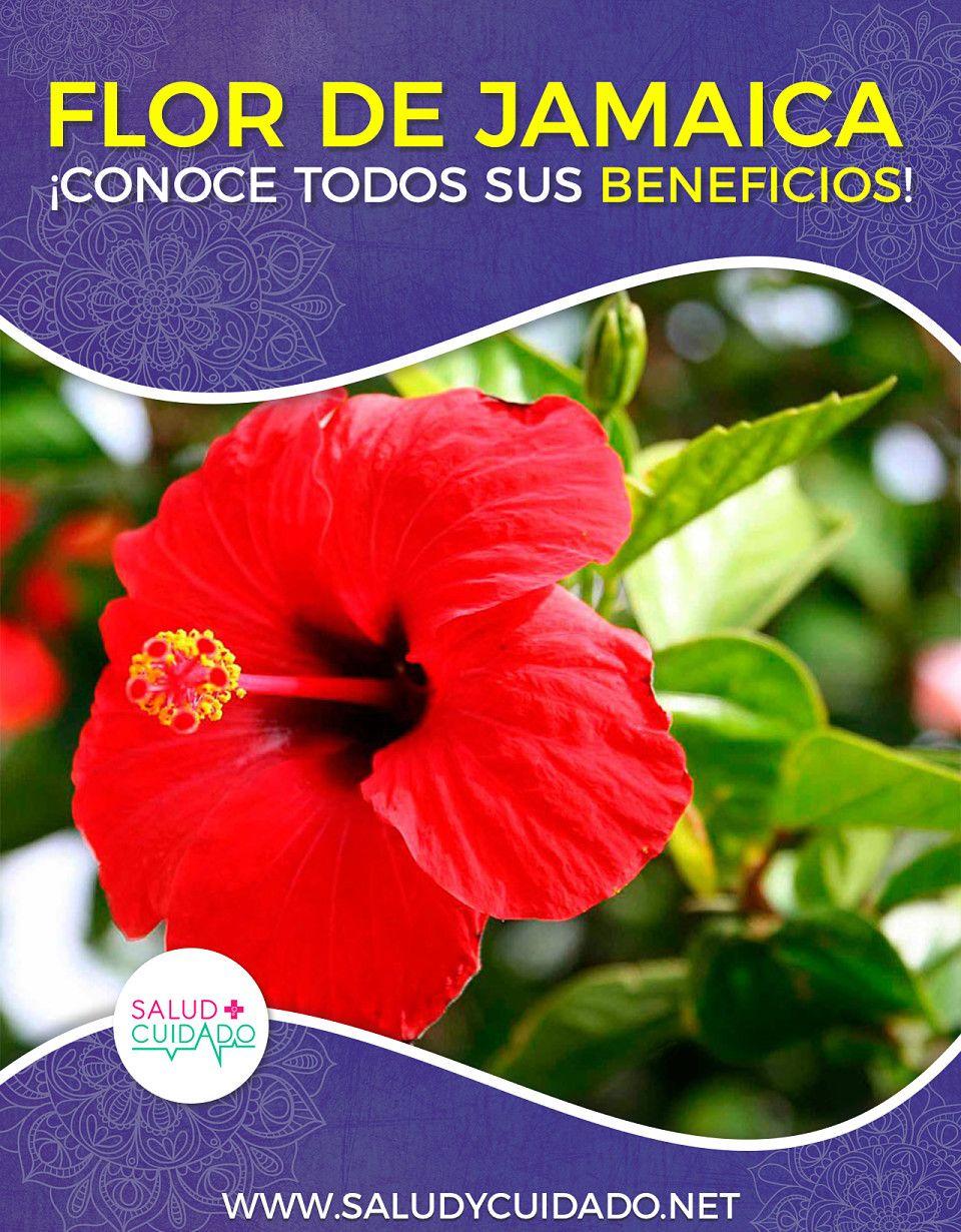 Beneficios De La Flor De Jamaica Increibles Propiedades Con