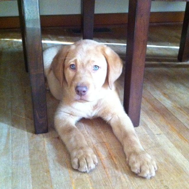 Our New Fox Red Lab Puppy With Very Rare Green Eyes Fittingly