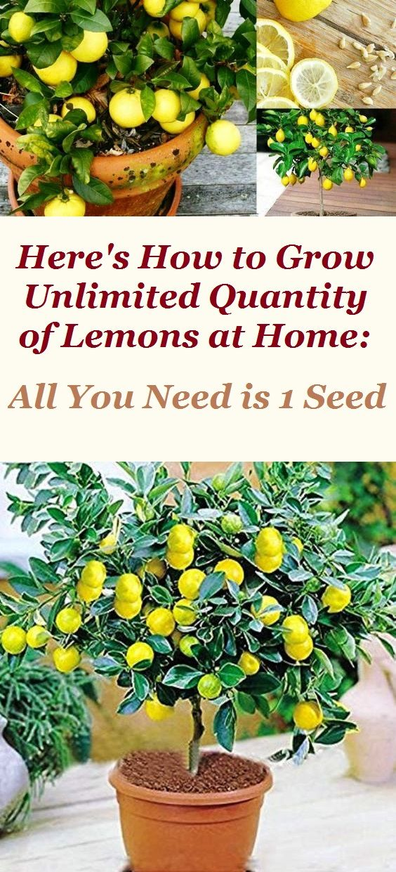 Here's How to Grow Unlimited Quantity of Lemons at Home: All You Need is 1 Seed #howtogrowplants