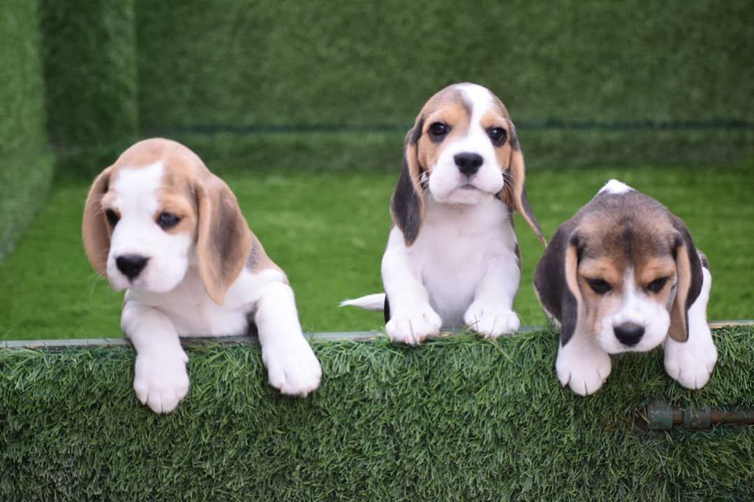 Pin On Beagle Puppy