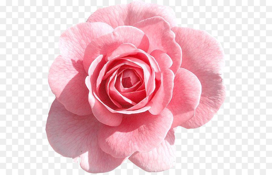 Rose Pink Clip Art Light Pink Rose Png Clipart Pink Rose Png Pink Flowers Background Flower Png Images