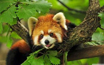 95 Panda Roux Fonds D Ecran Hd Arriere Plans Wallpaper Abyss Photo Animaux Panda Roux Animaux Sauvages