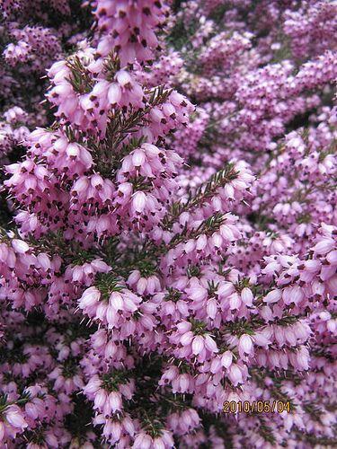 Choisir ses bruy res pour avoir des fleurs toute l 39 ann e dans son jardin pinterest bruy res - Avoir des poules dans son jardin ...