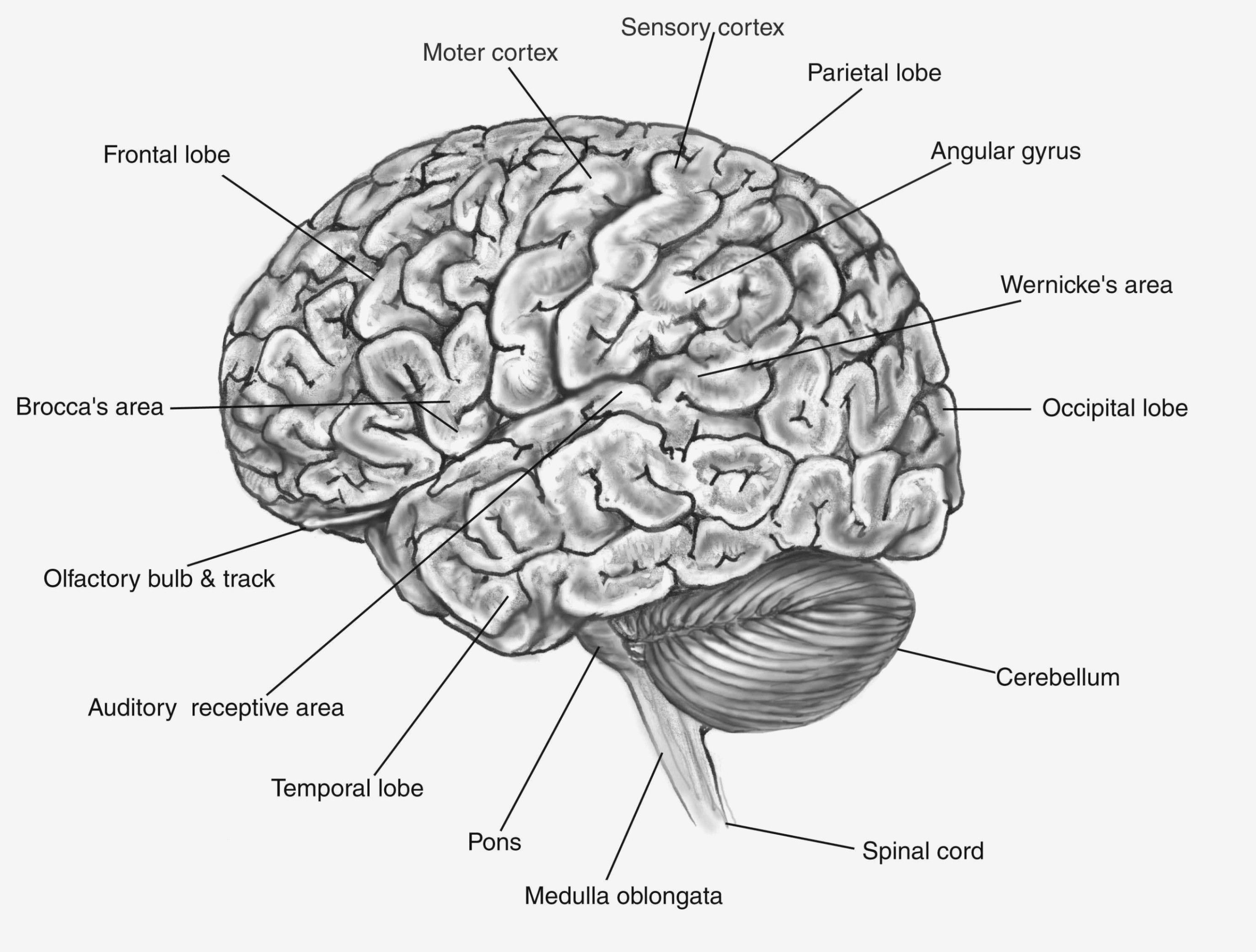 Picture Of Brain with Labels Beautiful 15 Reasons why ...