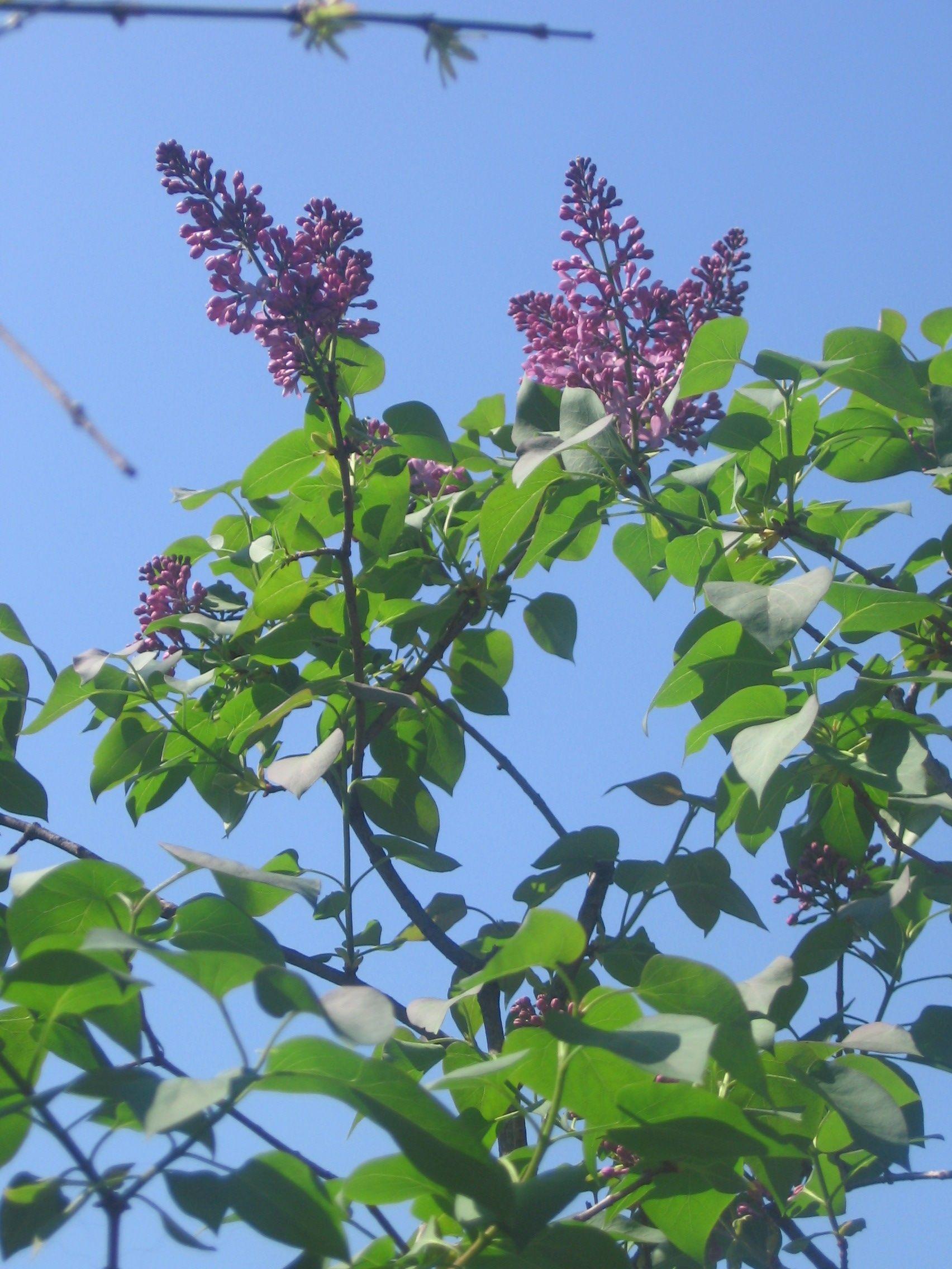 Albero Di Lillà albero di lilla' (con immagini) | fiori, piante, lilla
