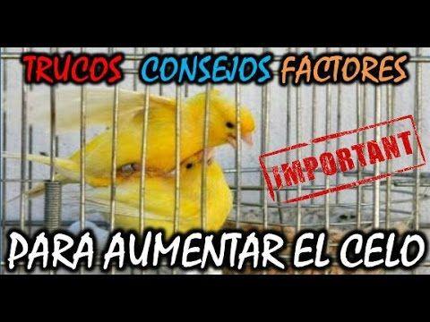 Como Encelar A Los Canarios Trucos Para Aumentar El Celo Canarios Crias Animales Y Mascotas