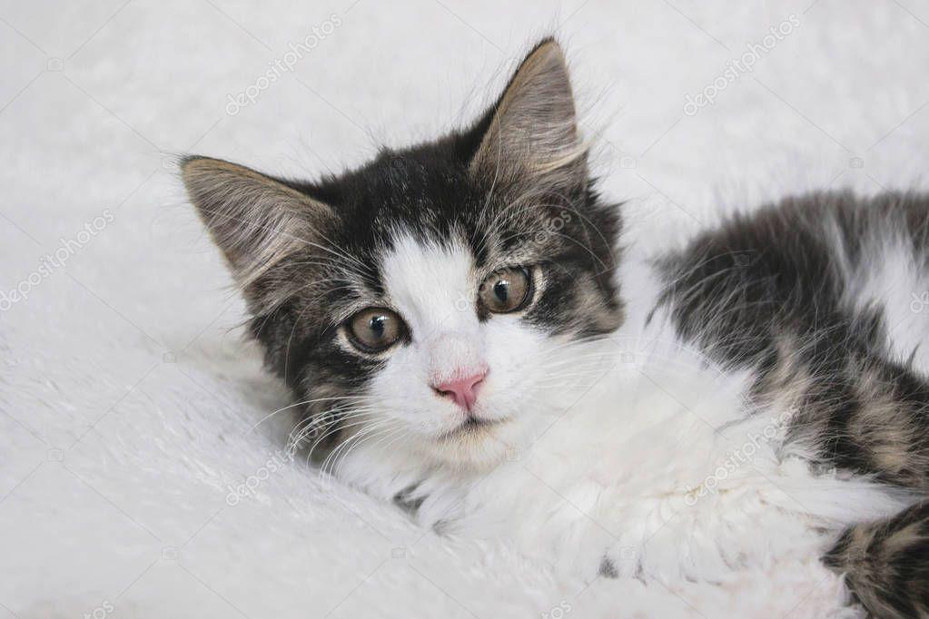 Close Norwegian Forest Cat Kitten White Blanket Stock Photo
