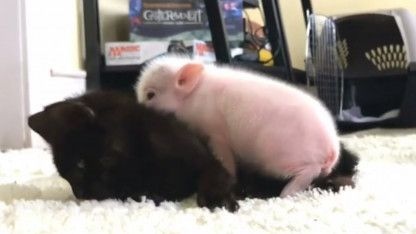 2 Week Old Orphaned Piglet Comforts Kitten Friend As She Suffers Seizure Sick Kitten Kitten Care Piglet