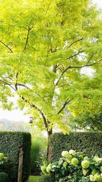 Robinia Pseudoacacia Frisia | Enchanted April TAM 2018 | Landscaping