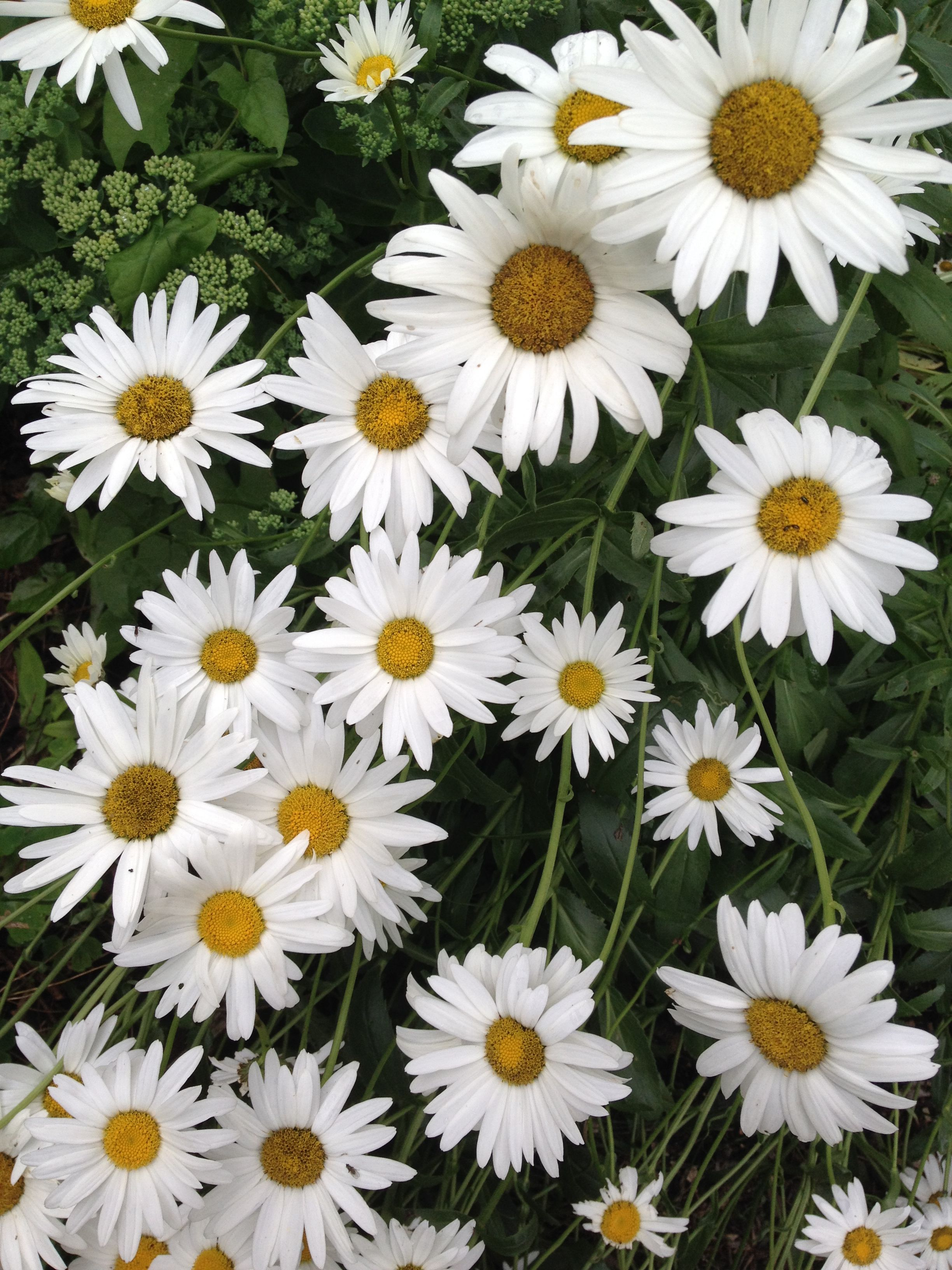 27th July Shasta Daisies Quickly Forming A Clump Thats Easy To