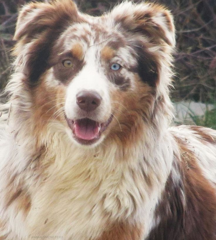 Australian Shepherd Red Merle Australian Shepherds Pinterest