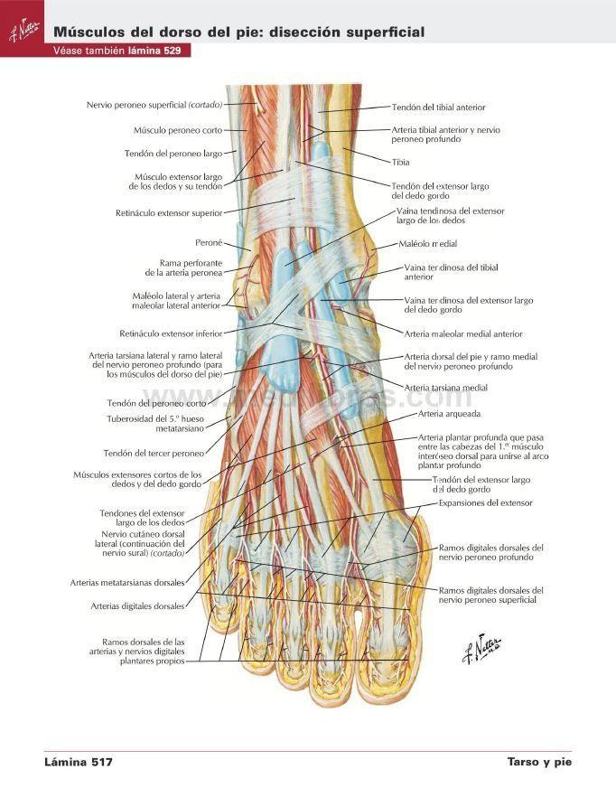 Ausgezeichnet Menschlicher Körper Anatomie Pdf Fotos - Menschliche ...