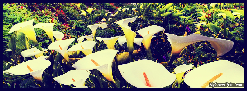 Calla Lilies At Lowes