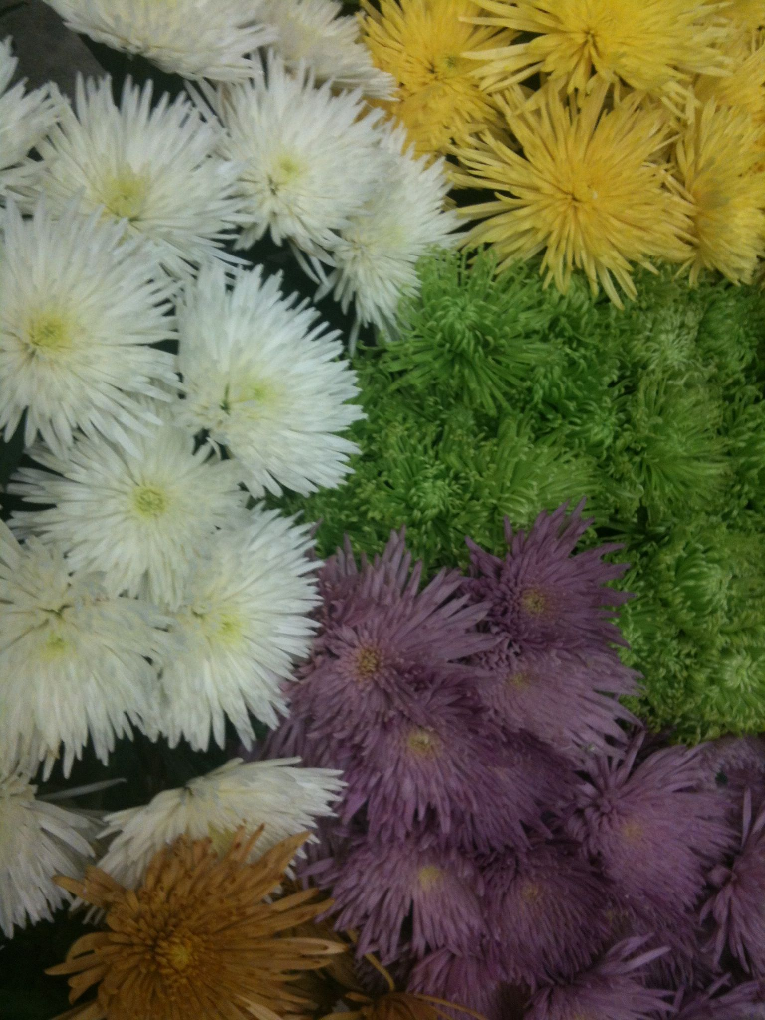 Spider Mum Variety In Assorted Colors White Bronze Yellow Green