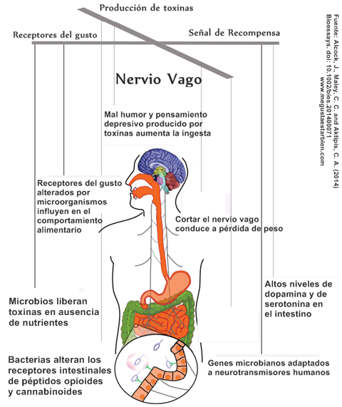 Intestino serotonina en el produccion de