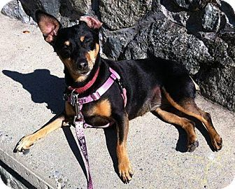 Victoria Bc Manchester Terrier Jack Russell Terrier Mix Meet Sam A Dog For Adoption Http Www Adoptapet Com Pet 17201793 Vi Animals Kitten Adoption Pets
