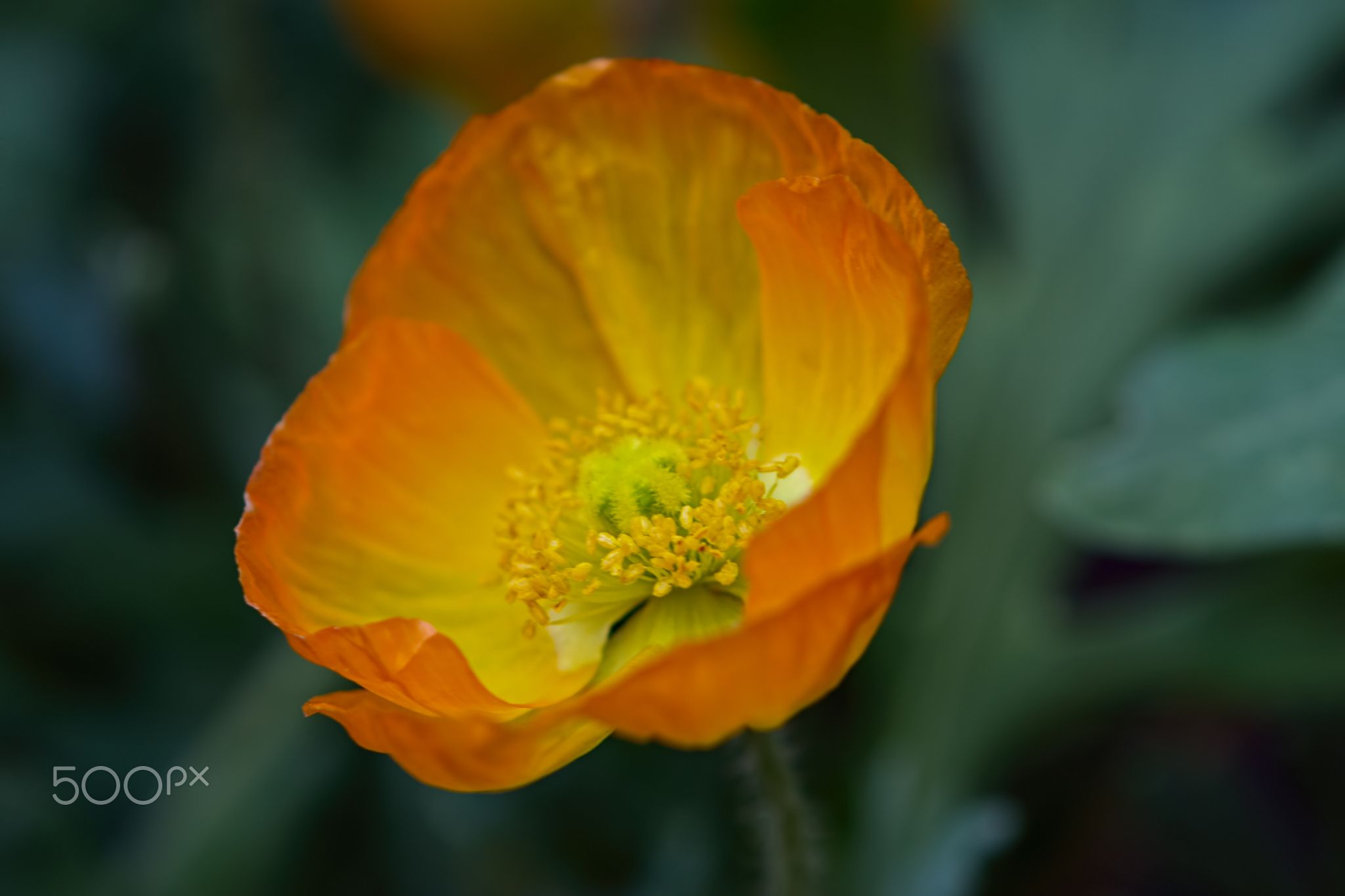 Orange Yellow Poppy 722 By Thomas Jerger Photo 130648729 500px